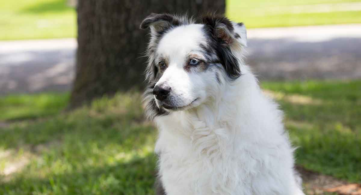 Black and White Australian Shepherd by thevetscare.com