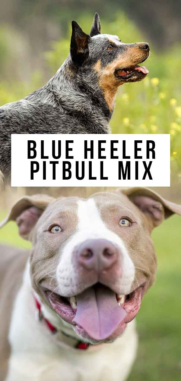 Blue Heeler Pitbull Mix