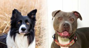 Border Collie Pitbull Mix – Is This The Cross For You?