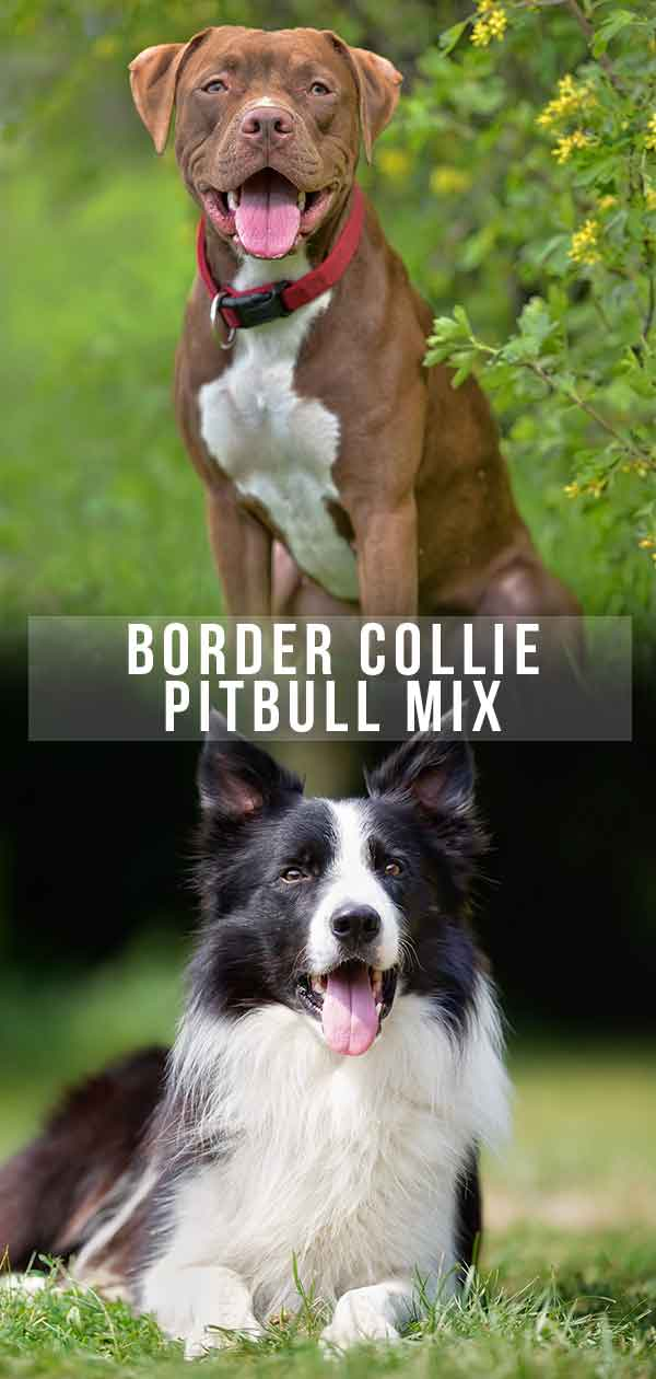 border collie pitbull mix