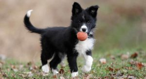 Border Collie Temperament – From Hard Worker To Pampered Pet