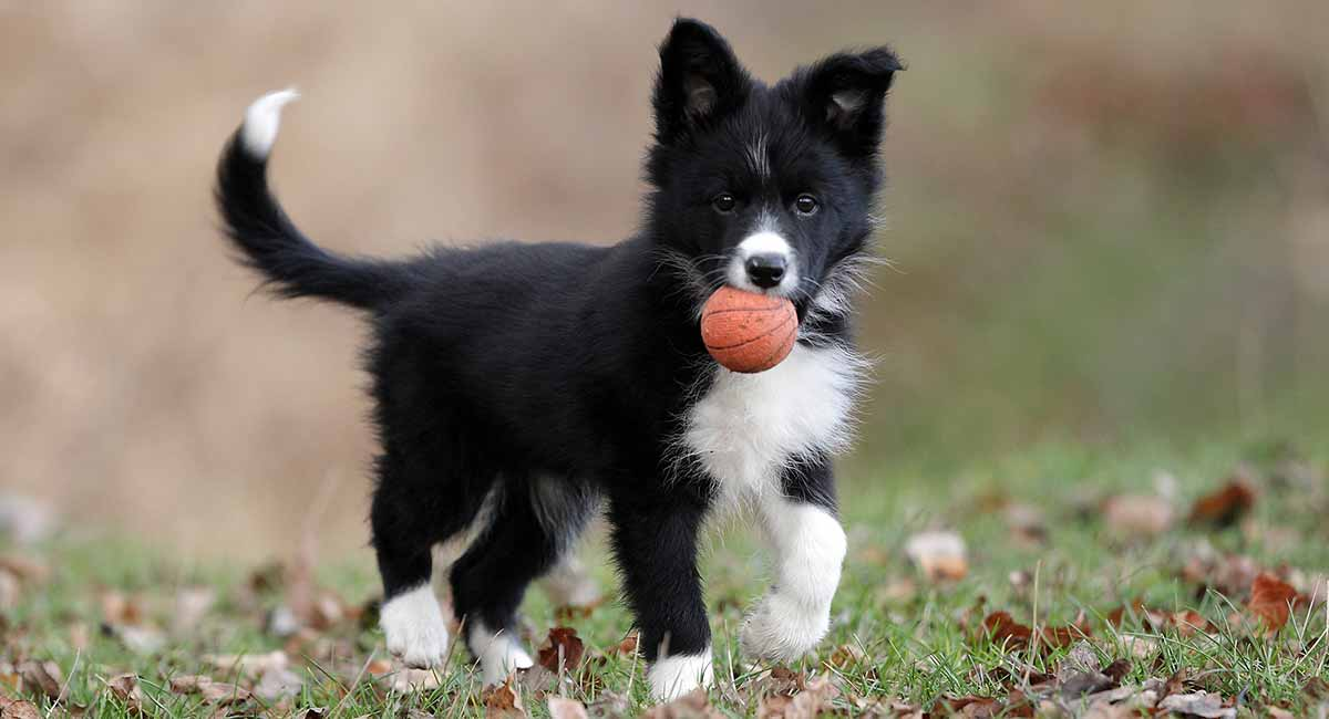 Boder Collie Temperament From Hard Worker To Pampered Pet