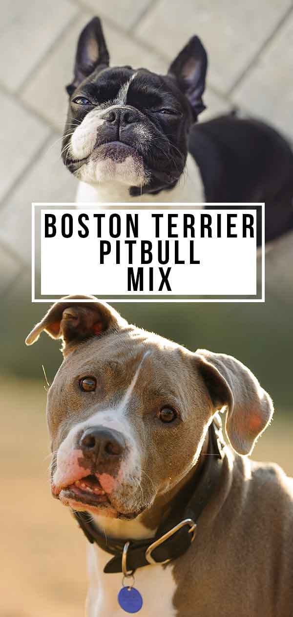 boston terrier pitbull mix