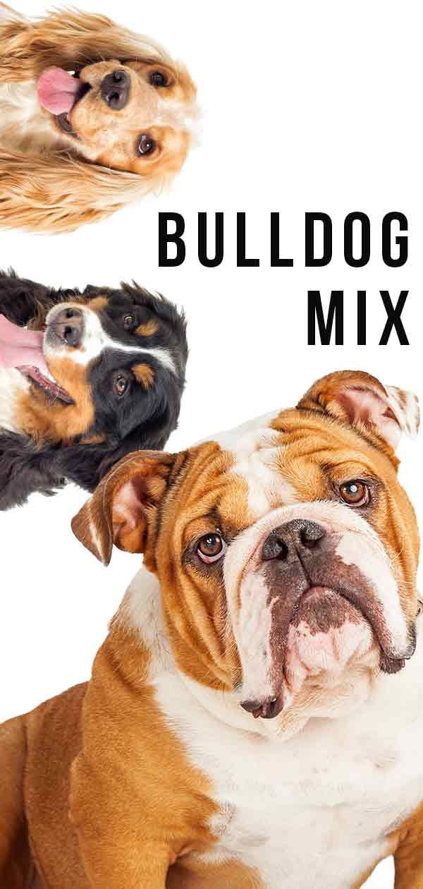 bulldog mix