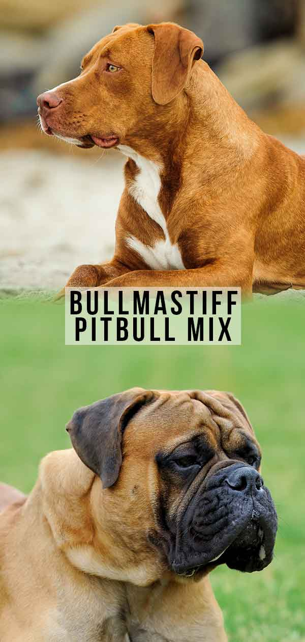 bullmastiff pitbull mix