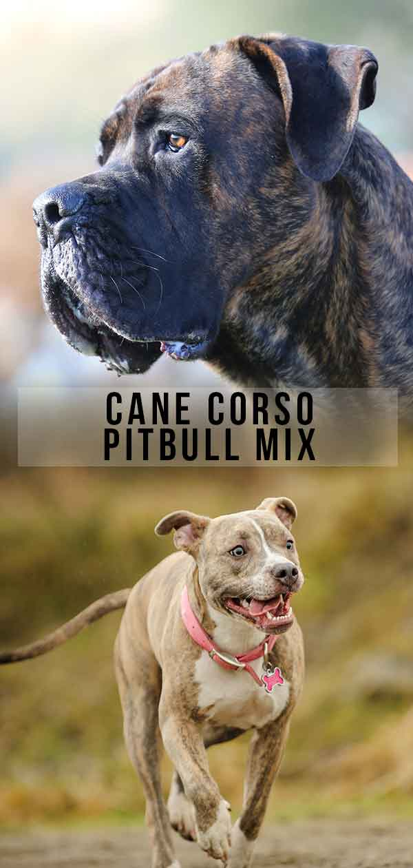 Cane Corso Pitbull Mix What Do You Need To Know About This Cross