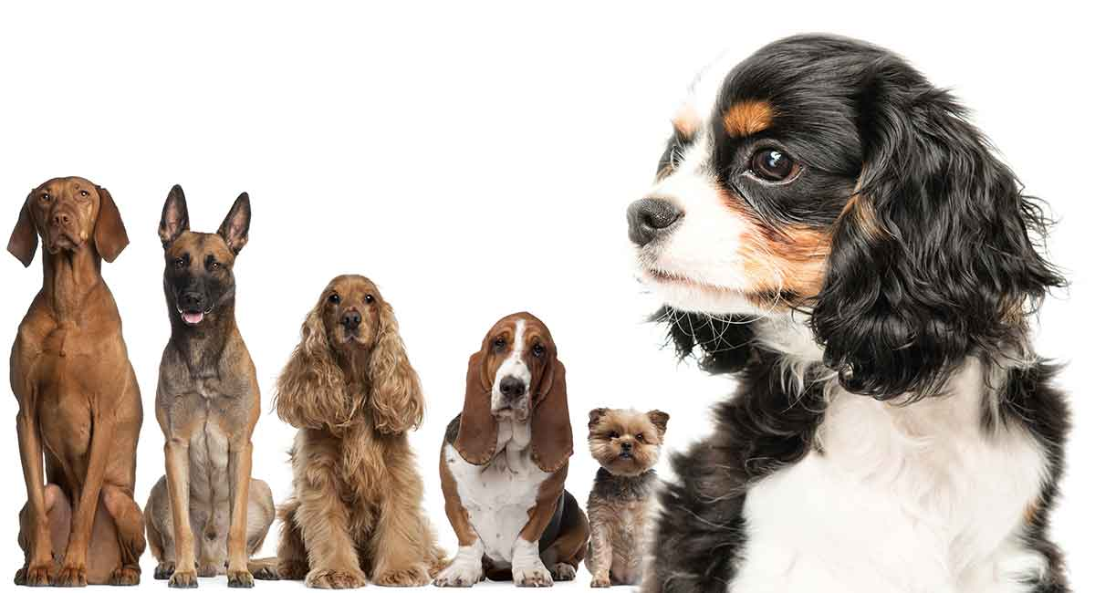Cavalier King Charles Spaniel Mix – Is One of These Dogs