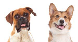 Corgi Boxer Mix – Loving Lapdog or Bouncy Best Friend?