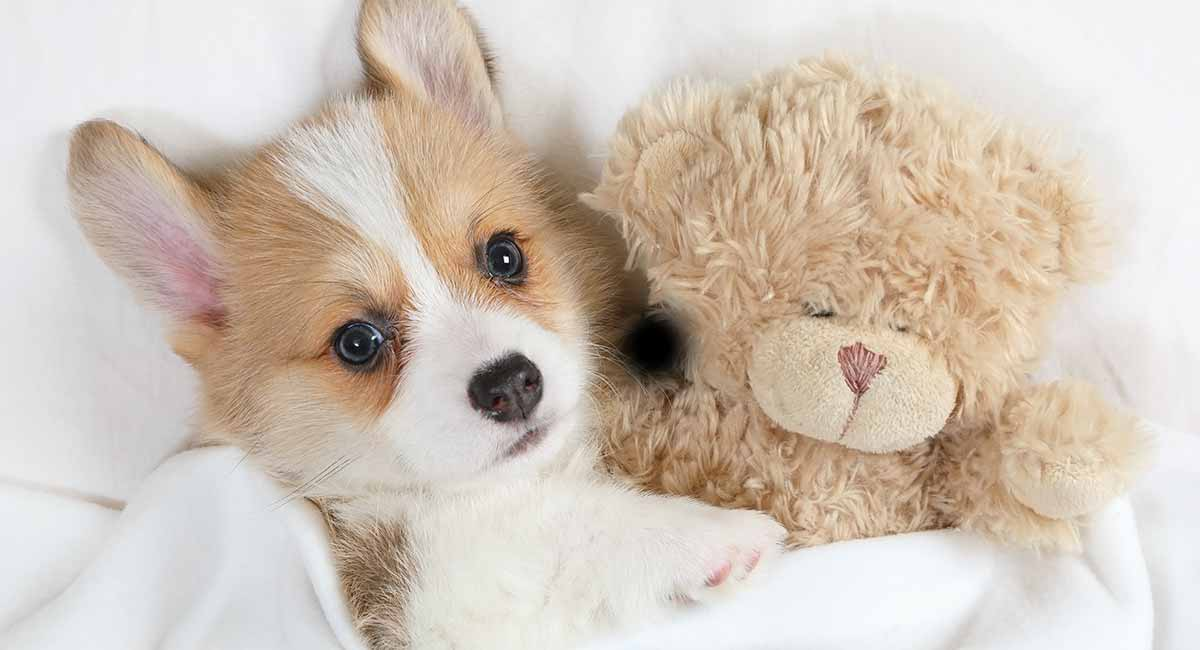 Corgi Gifts - Top Presents For Fans Of