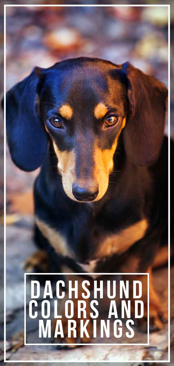 Dachshund Colors And Markings Explore The Range Of Patterns And Shades The Happy Puppy Site