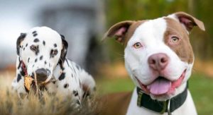 Dalmatian Pitbull Mix – Is the Pitmatian the right dog for you?