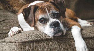 Do Boxers Shed – Will Your New Pup Make A Hairy Mess?