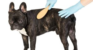 Do French Bulldogs Shed? Will Your New Pup Make A Mess?