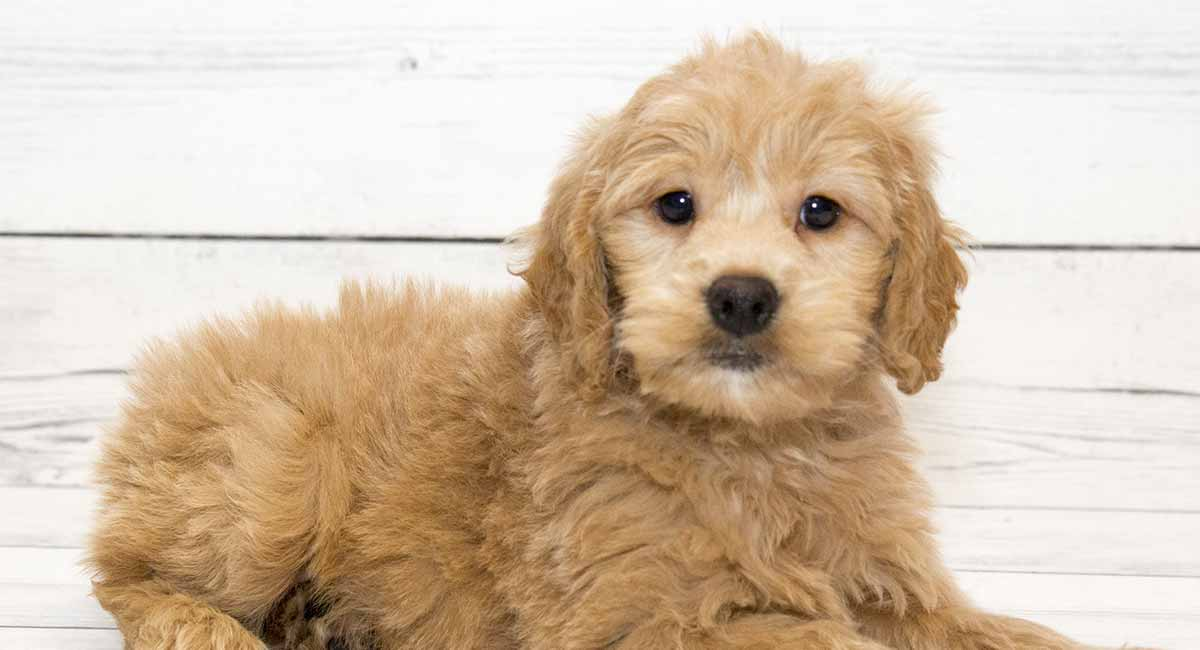 Do Goldendoodles Shed Will This Pup