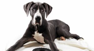 Do Great Danes Shed