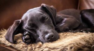 Do Labs Shed – Will Your Pup Leave Fur Everywhere?