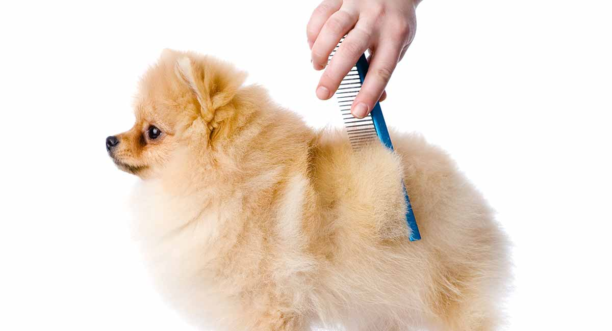 Do Pomeranians Shed What To Expect