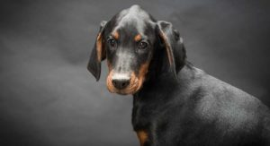 Doberman Pinscher Temperament – Is This Dog Right For Your Family?