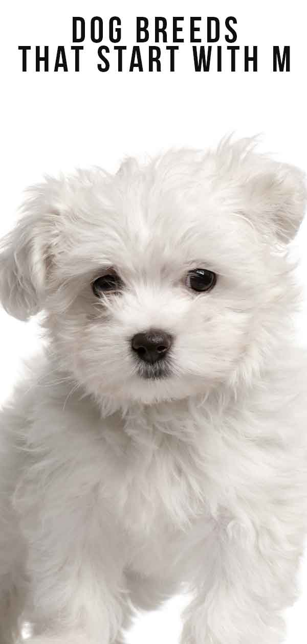 dog breeds that start with m