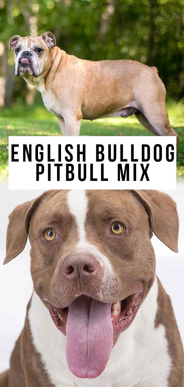 English Bulldog Pitbull Mix