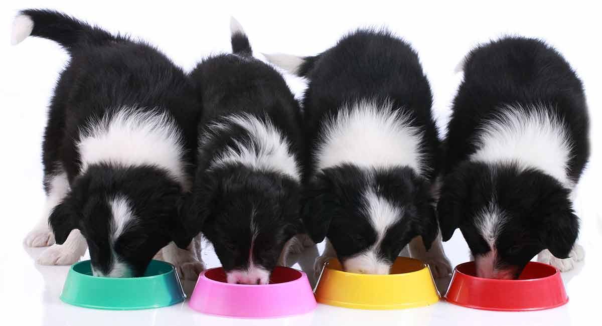 Feeding A Border Collie Puppy