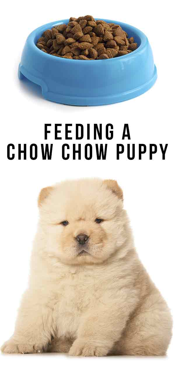 Feeding A Chow Chow Puppy