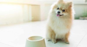 Feeding a Pomeranian Puppy – The Best Way to Feed Your New Friend