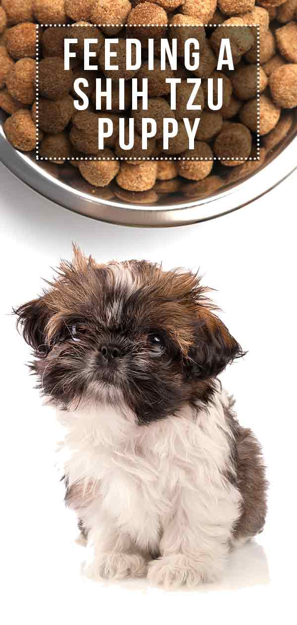 Feeding a Shih Tzu Puppy
