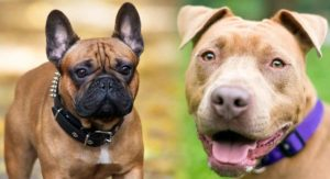 French Bulldog Pitbull Mix – A Mixed Breed With Two Very Different Pasts