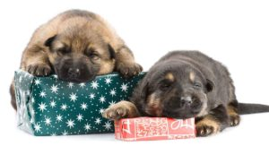 German Shepherd Gifts – Great Ideas For Your Shepherd-Loving Friend