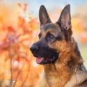 German Shepherd Temperament – Great Guard Dog or Perfect Pet?