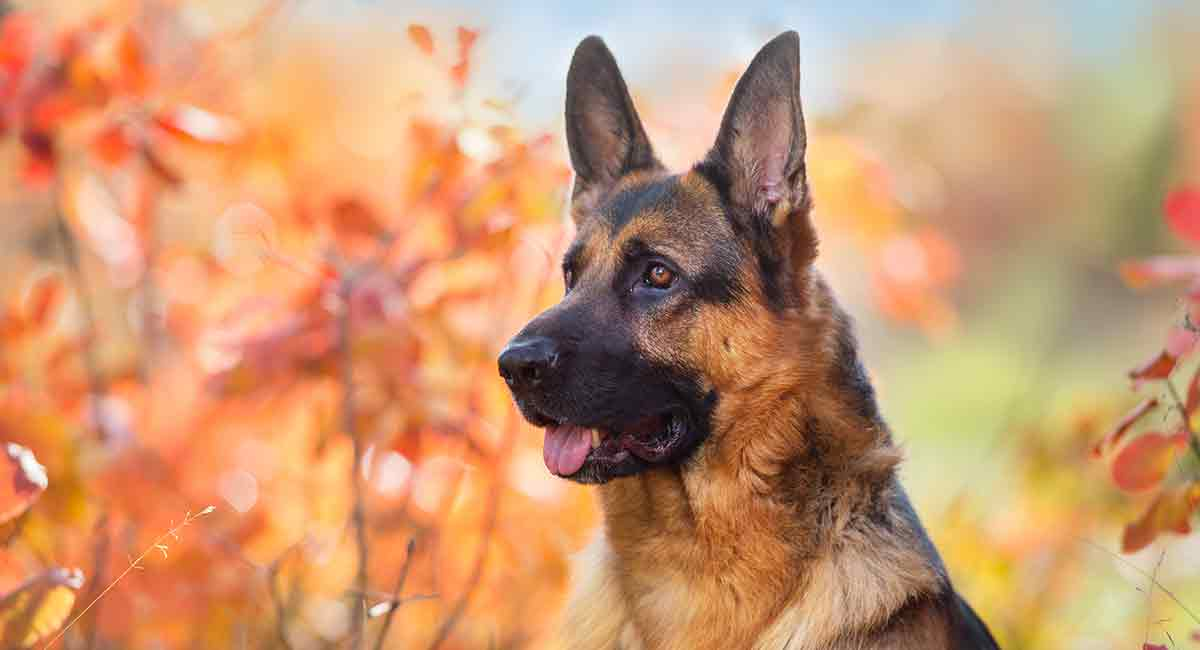 German Shepherd Temperament - Great Guard Dog or Perfect Pet?