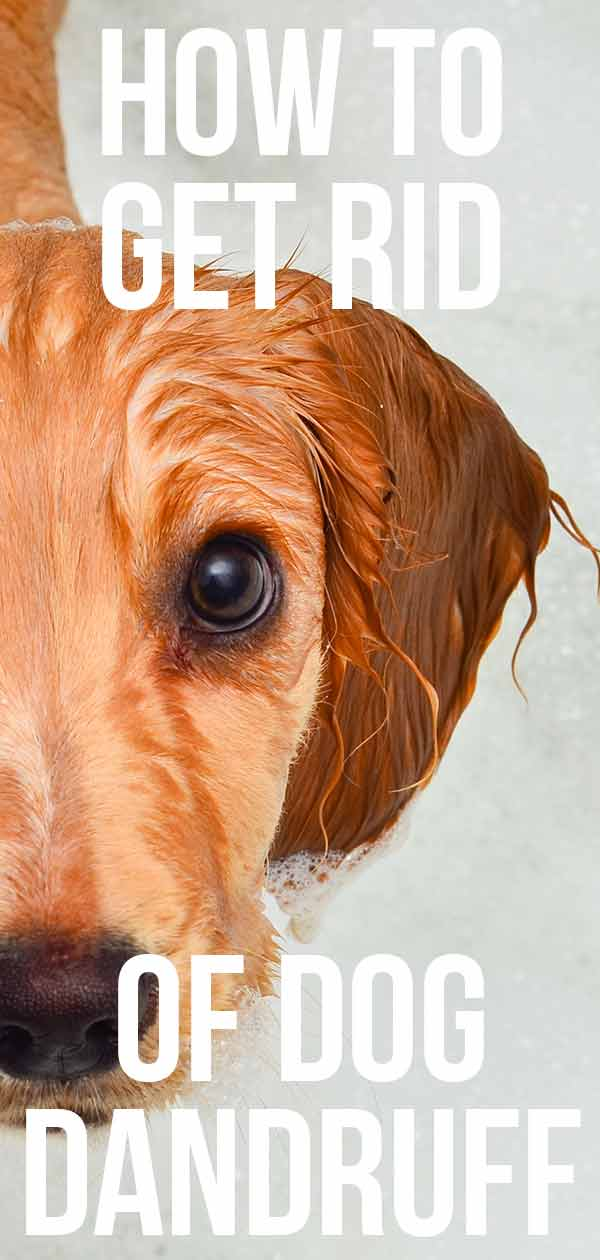 Dog dandruff symptoms - know the signs and how to treat them