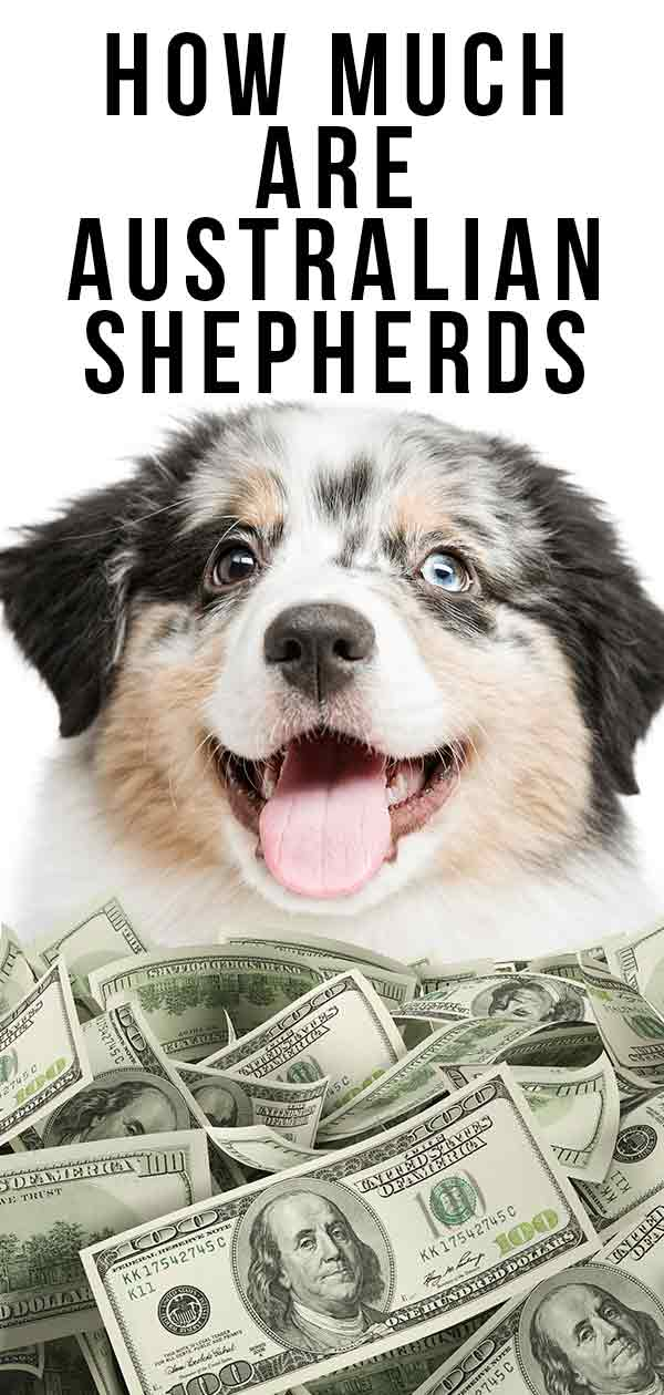 how much are australian shepherds