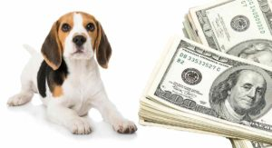 How Much Do Beagles Cost – From Puppies To Adulthood