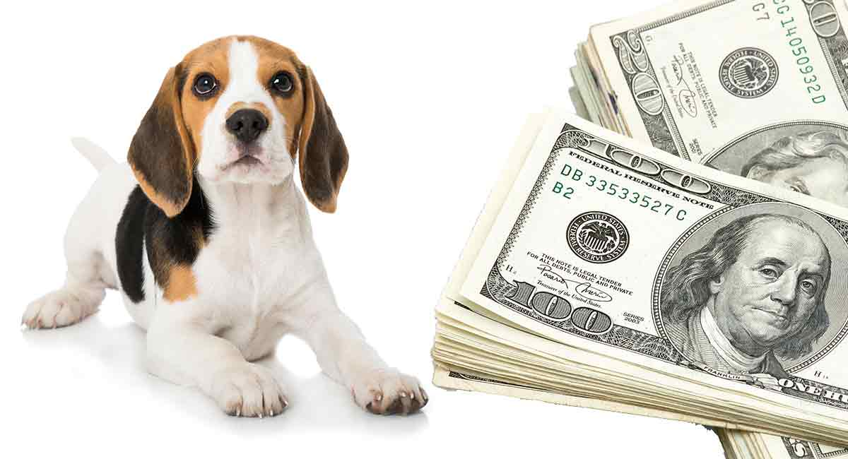 how much do Beagles cost