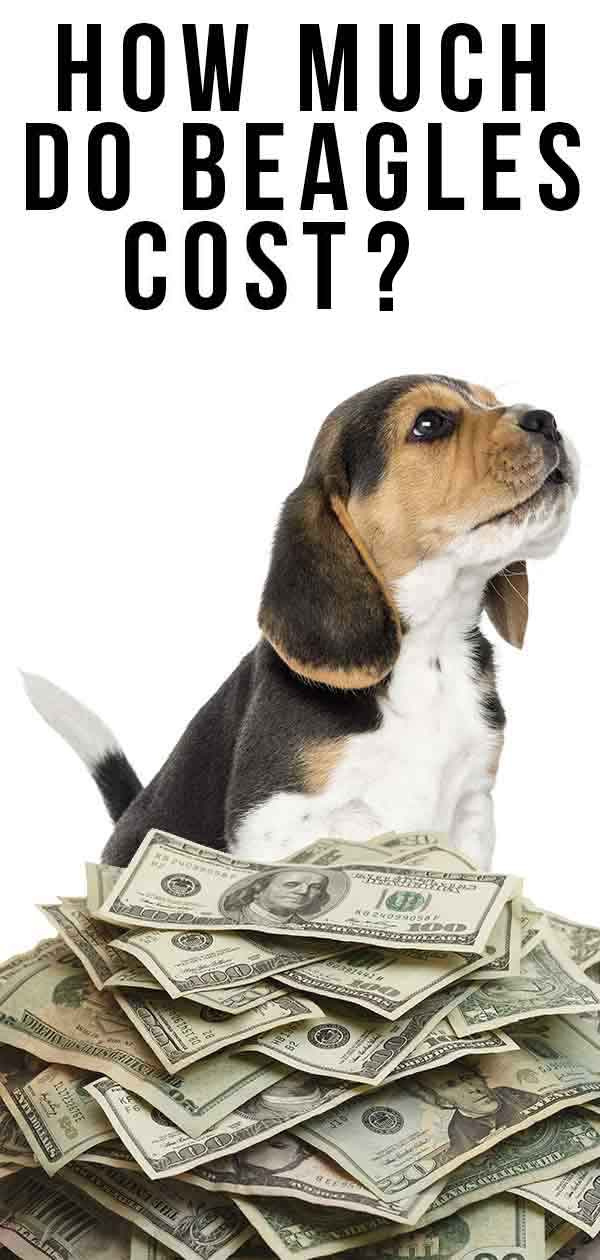 How Much Do Beagles Cost - From Puppies To Adulthood