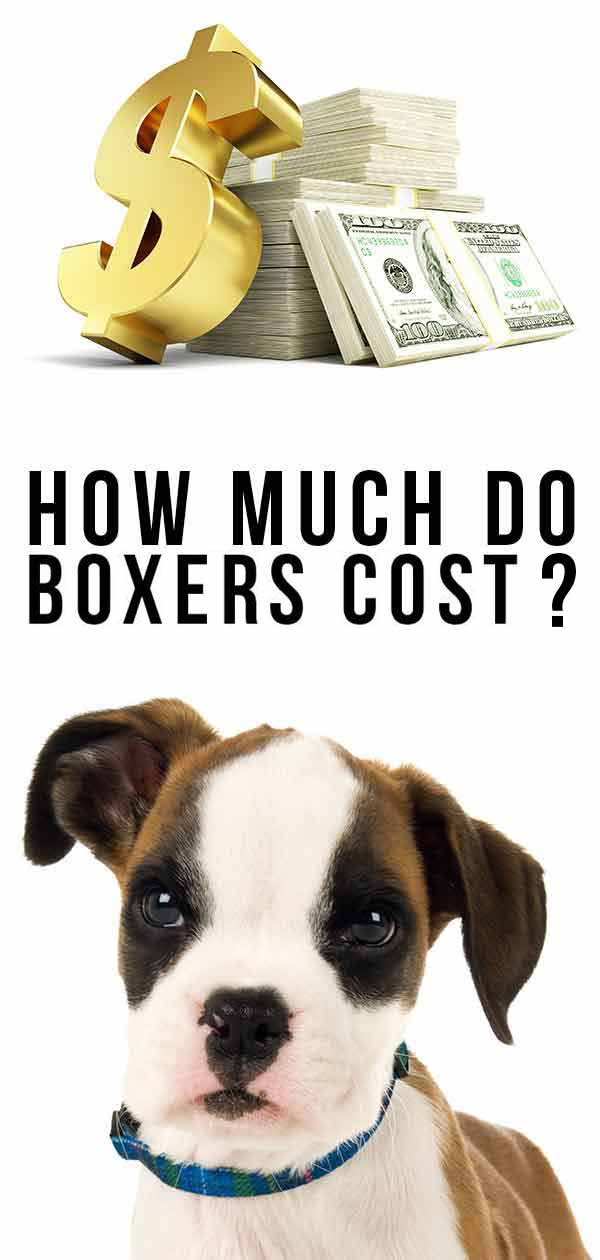 How Much Do Boxers Cost To Buy As Puppies And Raise As Adults?