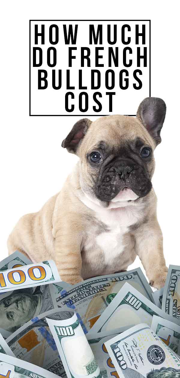 how much do french bulldogs cost