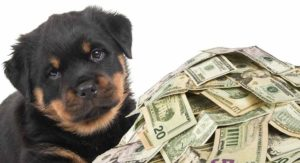 How Much Does A Rottweiler Cost – From Puppy Buying To Raising A Dog