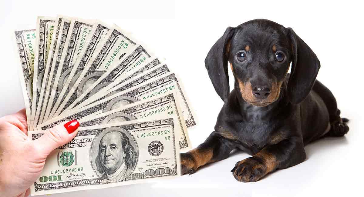 how much is a dachshund