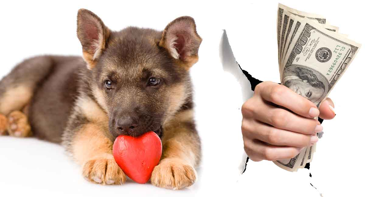"""Article/seo title - How much is a German Shepherd Dog - What can you expect to pay? Url - how-much-is-a-german-shepherd-dog Main keyword - How much is a german shepherd dog Meta - Author - Shannon cutts The German Shepherd https://thehappypuppysite.com/german-shepherd-dog/ dog is so popular worldwide! Consider this – the German Shepherd dog is the second most popular pet dog in the United States! In the UK, the German Shepherd is the eighth most popular companion canine. What this means for you, the German Shepherd dog lover, is that your favorite dog is a really wonderful pup! In this article, we get up close and personal with how much a German Shepherd dog costs so you can shop for your new fur bestie with knowledge and confidence. Calculating The Cost For A German Shepherd Dog Puppy When you are considering adding a German Shepherd puppy to your family, there is so much to contemplate! In this section we will walk you through some basics for calculating the cost for a German Shepherd dog puppy and beginning to budget for your new addition. Puppy price As of publication time, the price range for a purebred GSD puppy varies from $50 to $20,000. We will talk more about expensive puppies vs low price puppies and why there is such a vast disparity in puppy pricing in the following sections! One-time puppy supplies Estimates put puppy preparation supplies purchases right around $900. Read on for a breakdown of estimated initial costs in preparation for welcoming your new German Shepherd dog puppy home! Ongoing (recurring) puppy costs Your puppy will need certain items all through life – so for the next 7 to 10 years at a minimum. In a following section here, learn why these costs may run you $200 or more monthly. Expensive Puppies Vs Low Price Puppies """"Boy, having a puppy sure is cheap and easy!"""" said no new German Shepherd dog puppy owner, ever. Puppies are pricey – this is something every dog lover knows. What many dog lovers do not realize, however, is that there te"""