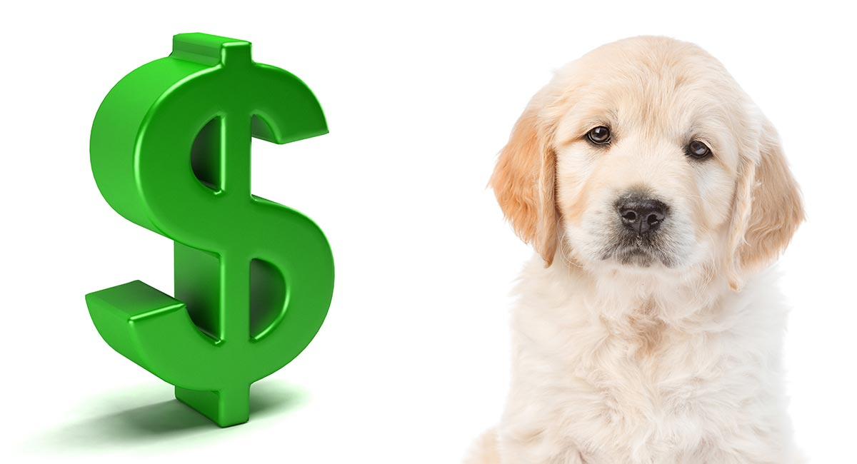How Much Is A Golden Retriever Puppy To Buy And Care For?