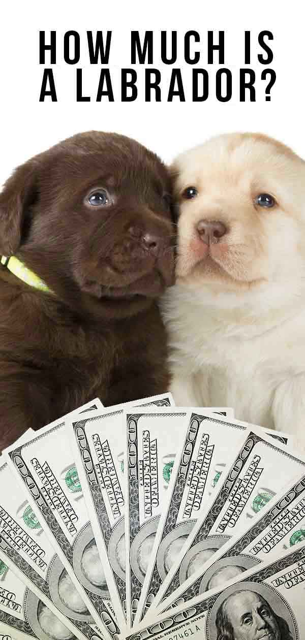 How much is a Labrador puppy?