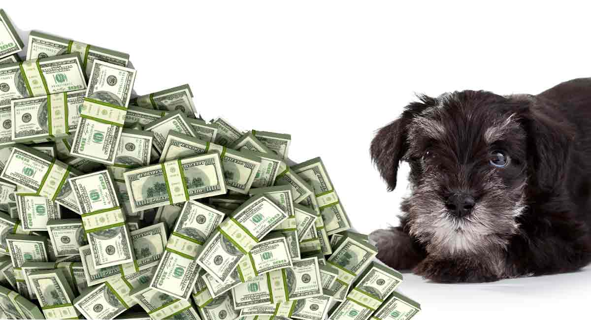 How much is a Miniature Schnauzer