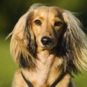 A Complete Guide To The Long Haired Dachshund