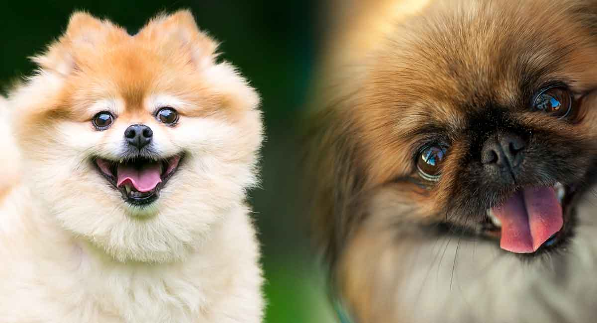 Pekingese Pomeranian mix