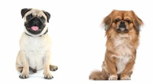 Pekingese Pug Mix – Is This Cross Right For Your Family?