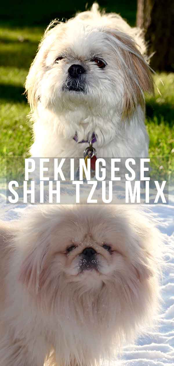 The Pekingese Shih-Tzu mix