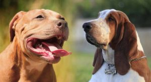 Pitbull Basset Hound Mix – What To Expect From This Unusual Mix